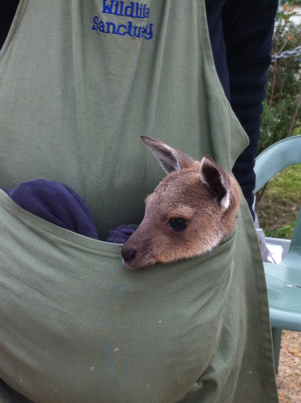 Baby Kangaroo (Joey) in Volunteer's pouch in Australia