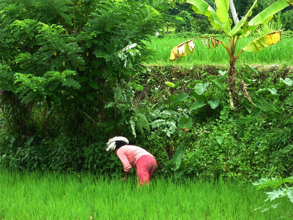 Woman working in rice fields in Bali