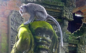 Macaque Monkey in Sacred Monkey Forest in Ubud