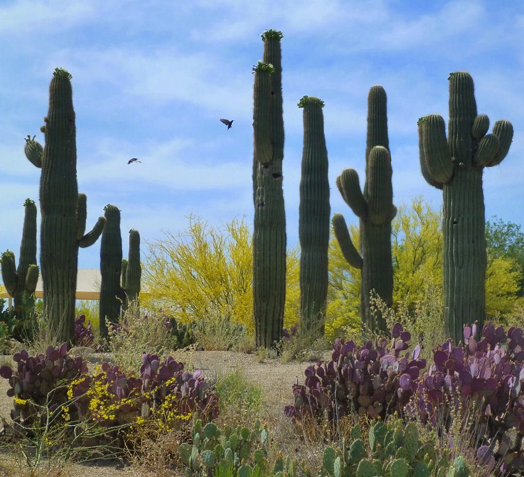 Saguaro cactus garden, East Valley, Arizona, USA