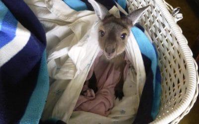 Baby Kangaroo in Crib