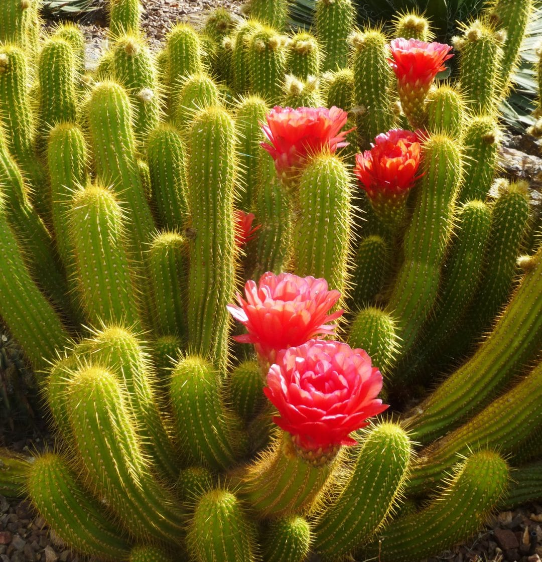 Blooming Cacti in Sonoran Desert