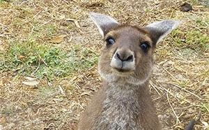 Friendly Kangaroo in Uralla Wildlife Sanctuary, Western Australia