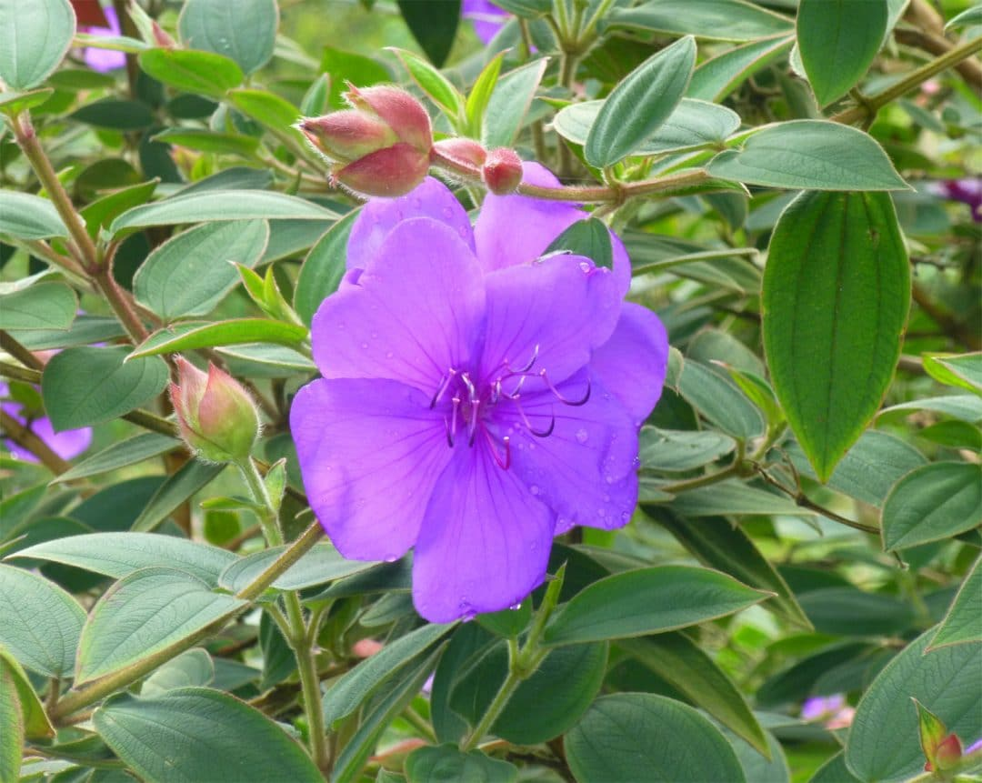 Princess flower in Bali, Indonesia