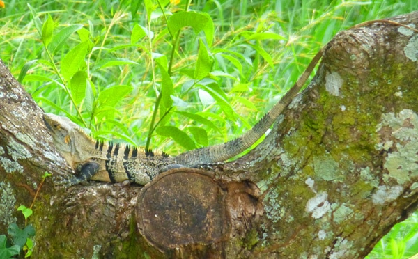 Iguana in tree in Costa Rica