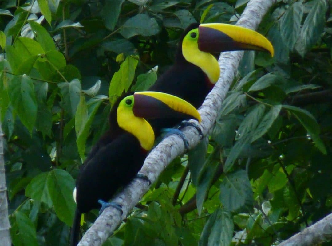 Pair of toucans, Costa Rica