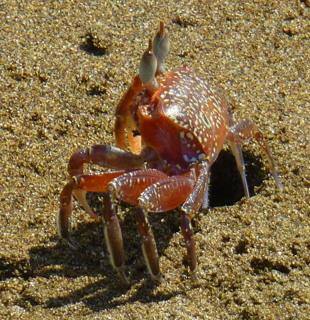 ghost crab in Marino Ballena National Park, Costa Rica