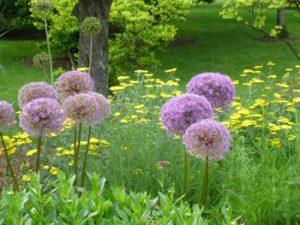 Drum Allium at Humber Arboretum