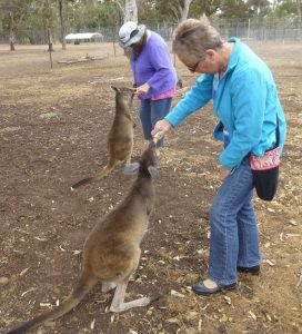 Feeding young kangaroos