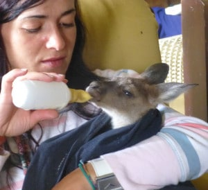 Volunteer at Uralla Wildlife Sanctuary feeding baby kangaroo