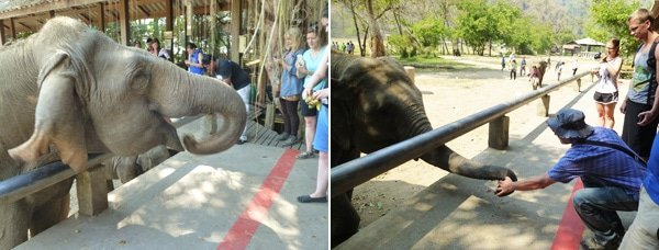Elephant Feeding Time, Elephant Nature Park, Chiang Mai, Thailalnd