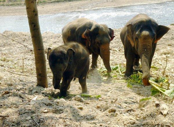 baby elephant charging, Elephant Nature Park