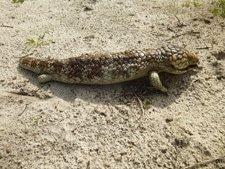 Bobtail lizard Western Australia