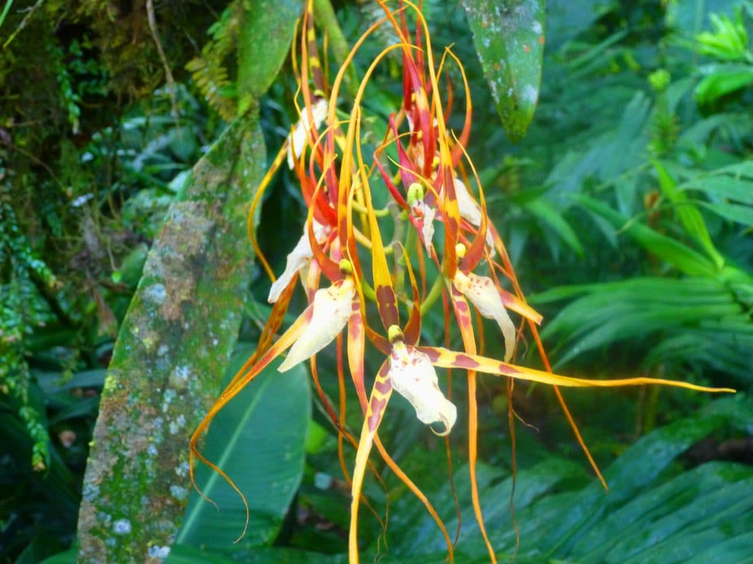 spider-orchid in La Paz Waterfall Gardens, Costa Rica