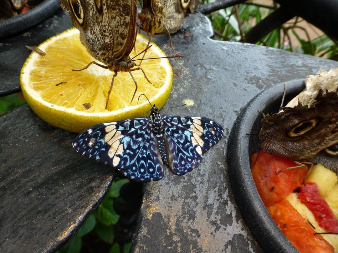 Butterflies Feeding in La Paz Waterfall Gardens, Costa Rica