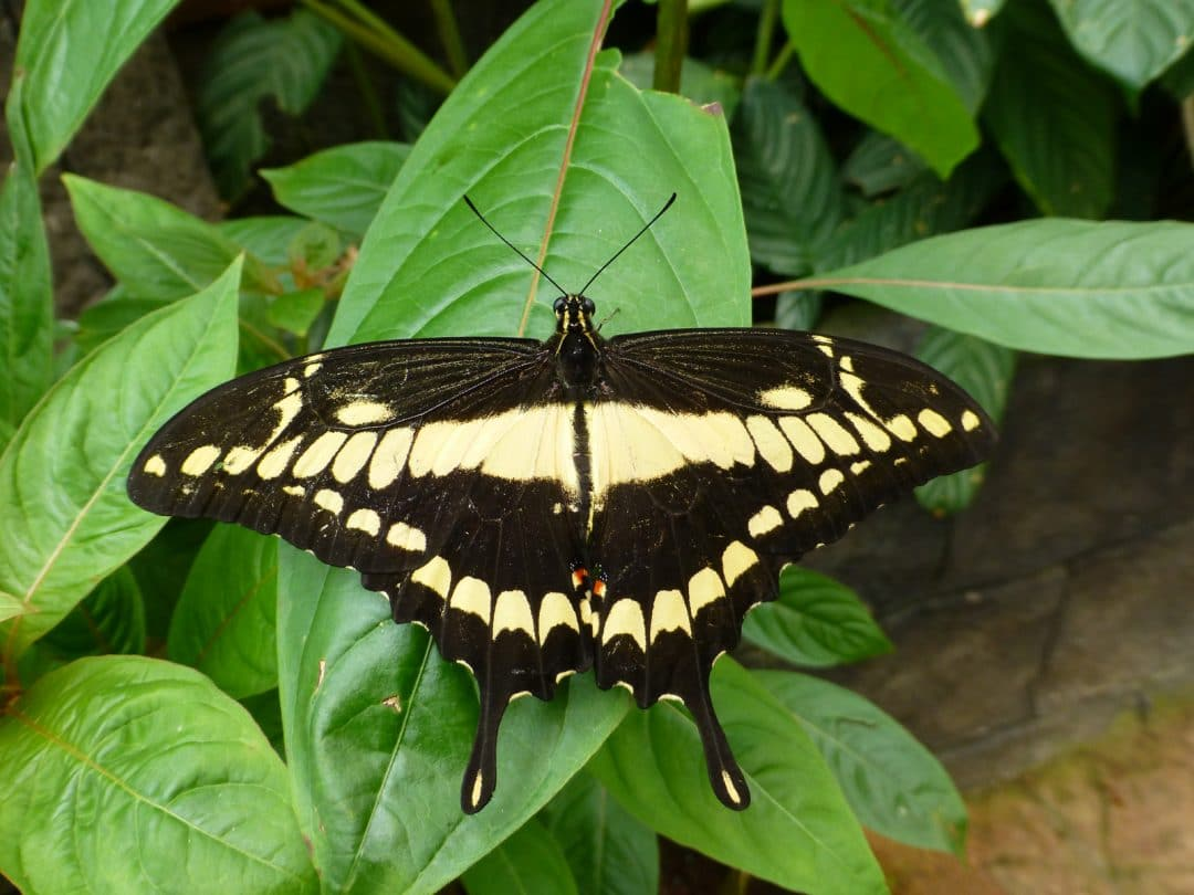 Black and Yellow Butterfly in La Paz Waterfall Gardens, Costa Rica