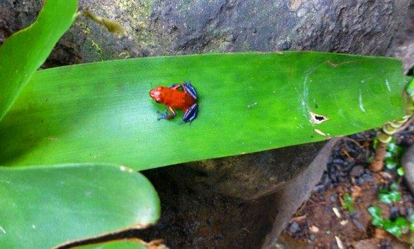 Dart Frog in La Paz Waterfall Gardens, Costa Rica
