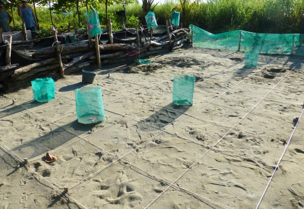 sea turtles buried in grid for protection