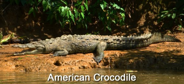 American-Crocodile-on-Sierpe-River,-Costa-Rica