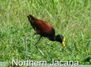 Northern Jacana on Sierpe River in Costa Rica
