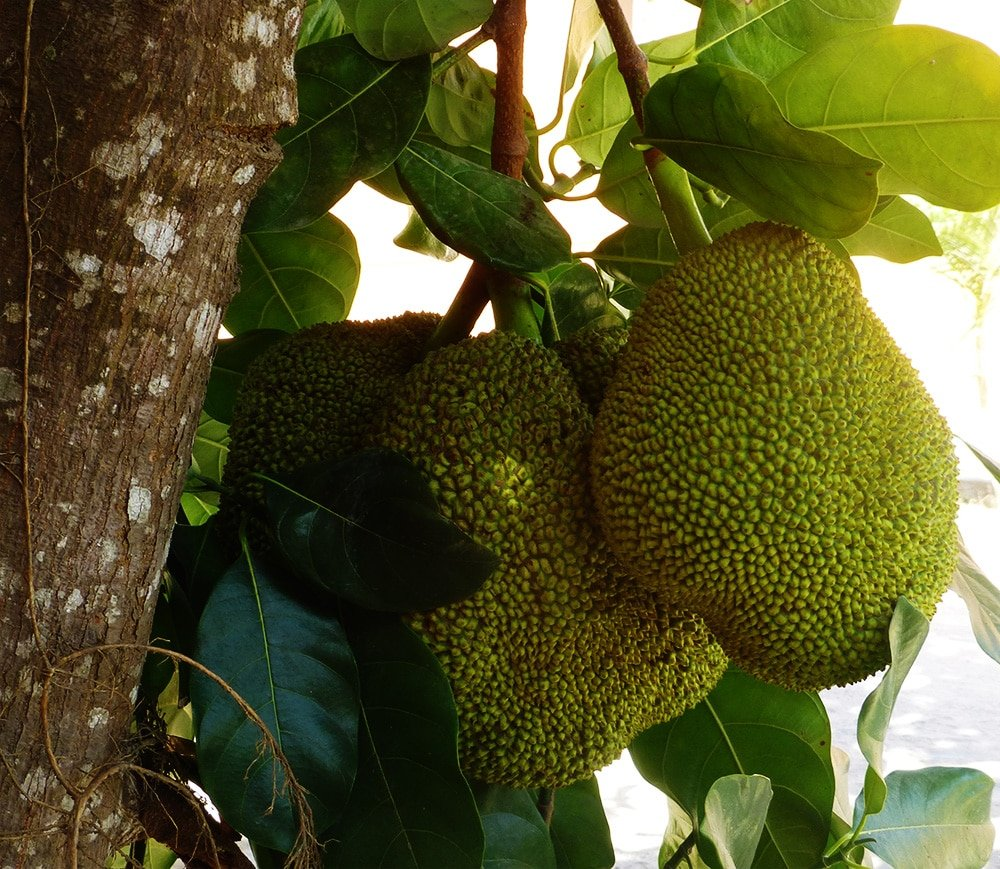 jack fruit growing on tree
