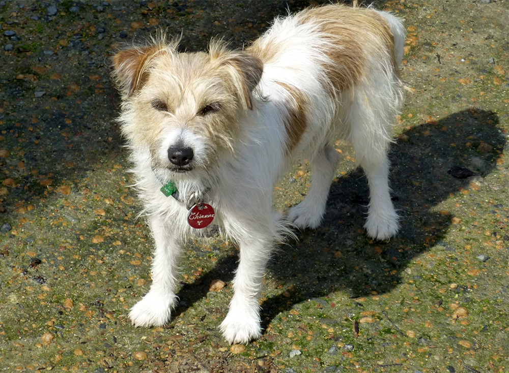 Chienne, the Jack Russell Terrier in Western Australia