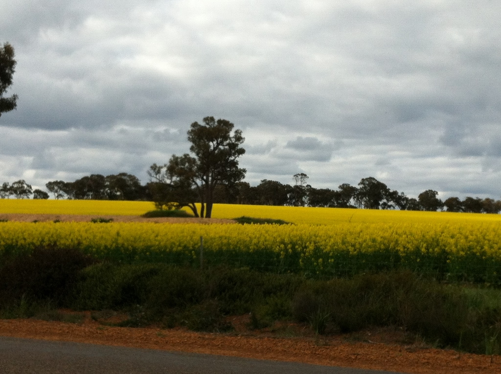 canola fields in Western Australia
