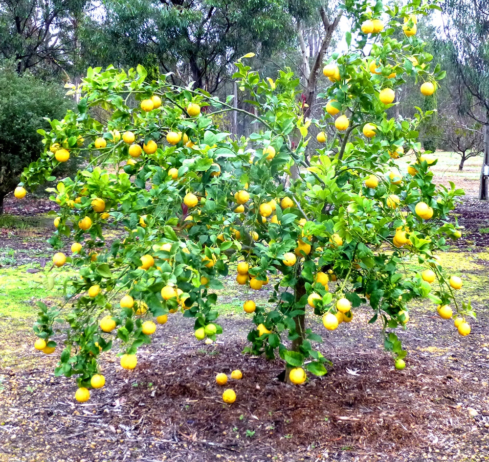 Lemon Tree with Lemons Ripe for the Picking