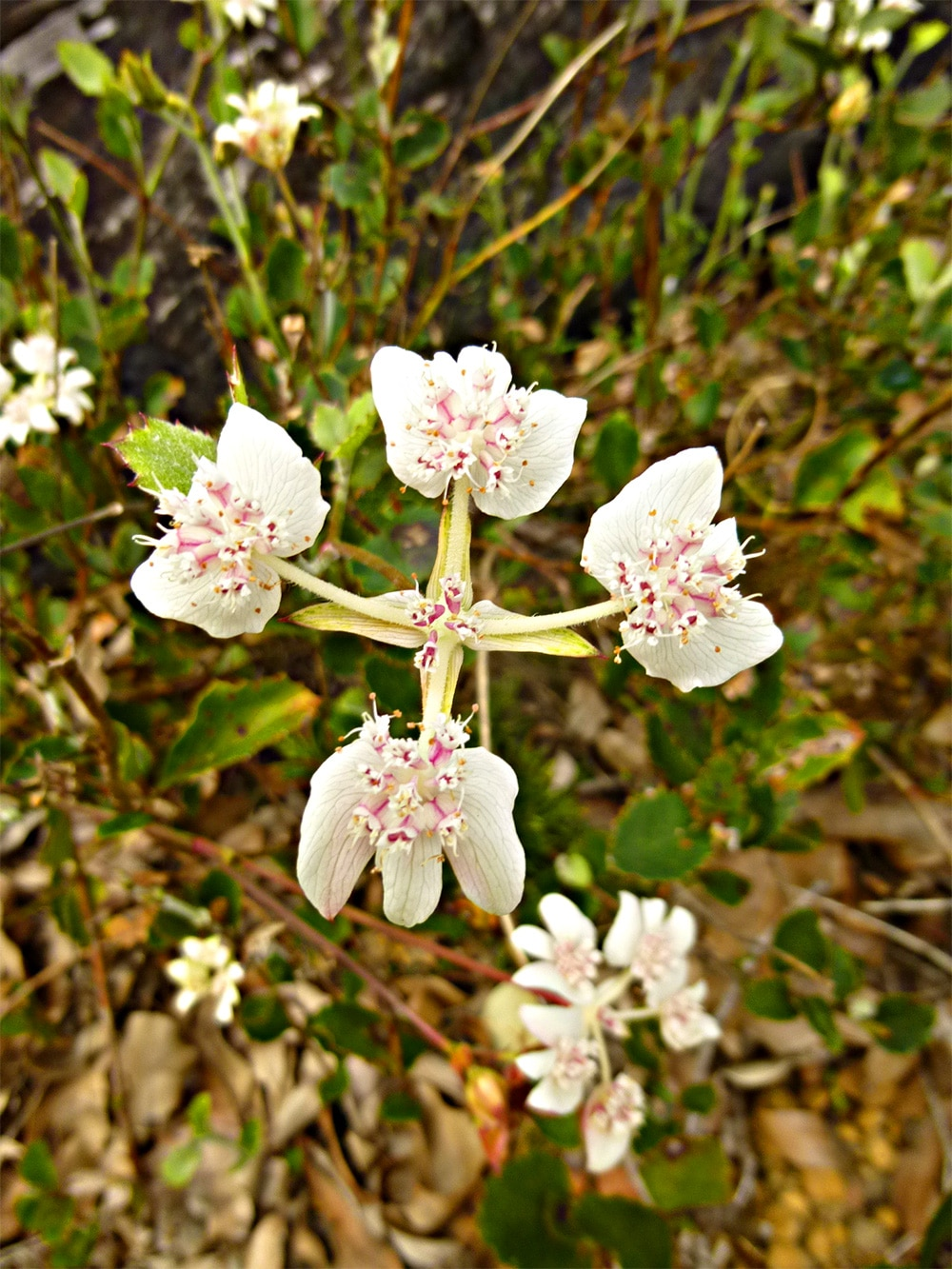 Southern Cross Wildflowers in Porongurup National Park