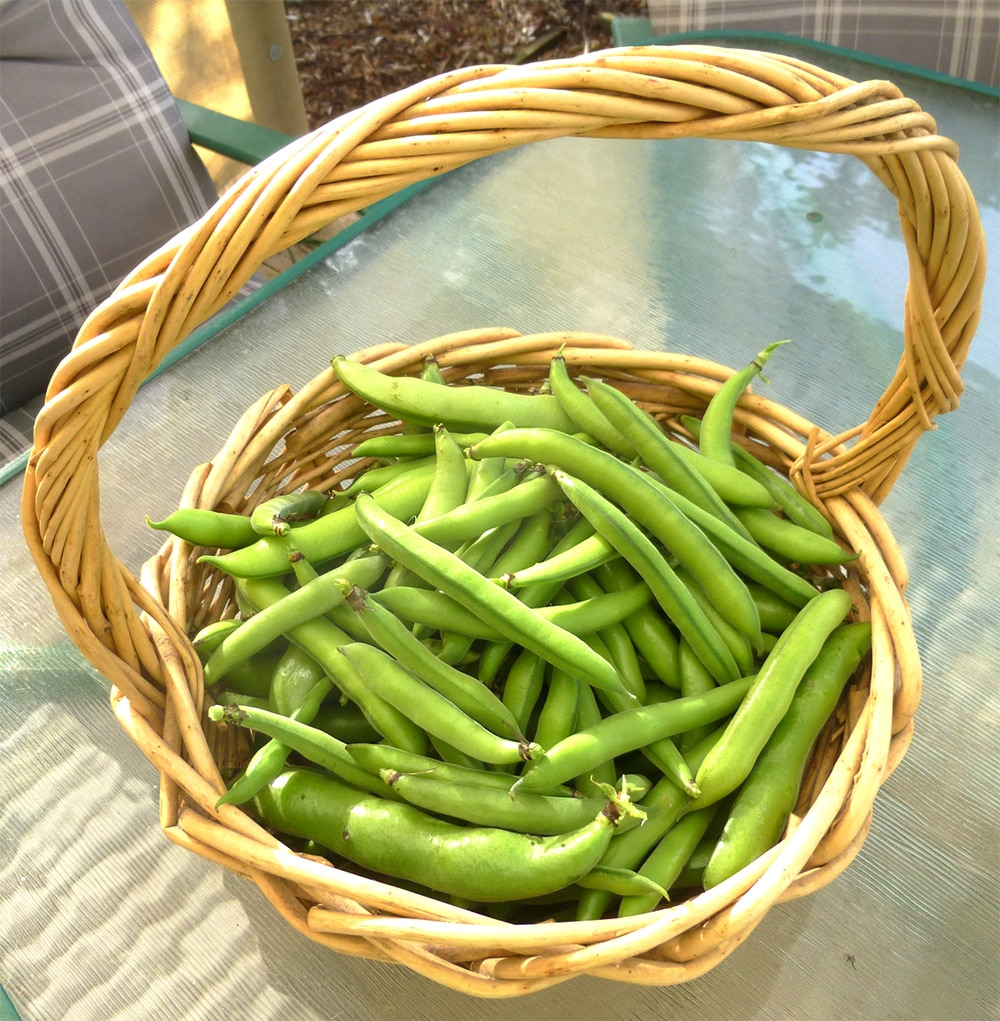 Broad Beans From Our Garden in Western Australia