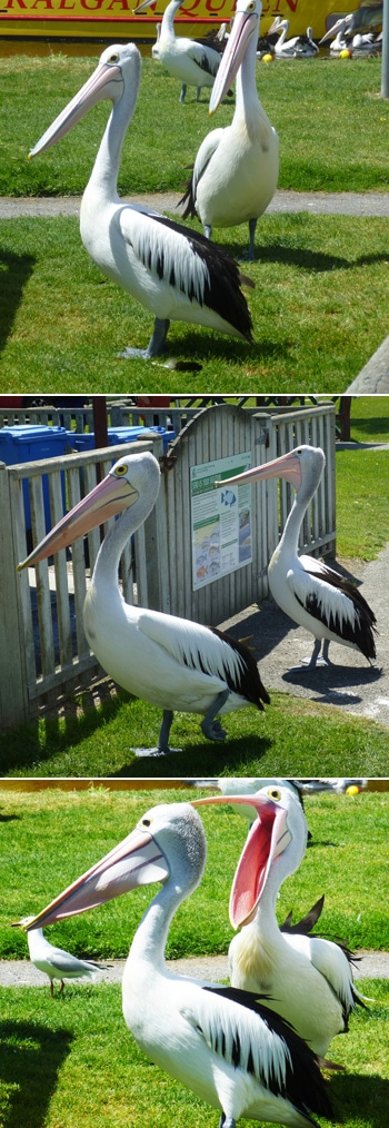 Huge Pelicans at Albany Harbor, Western Australia