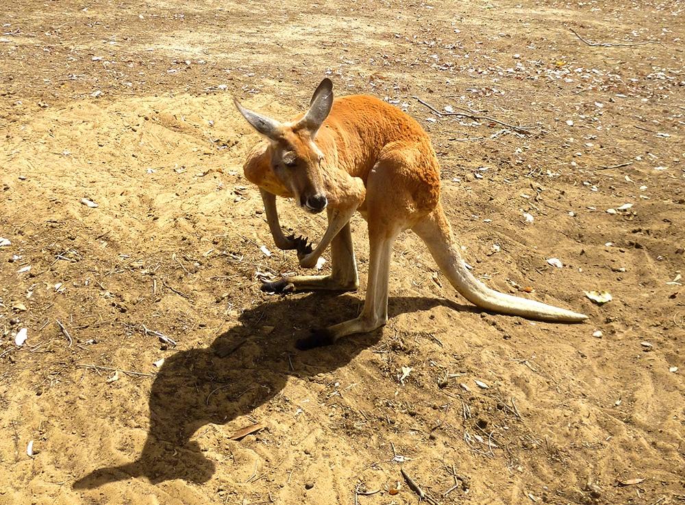 Red Kangaroo in Western Australia