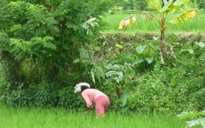 Daily Beauty in the Rice Fields near Ubud, Bali