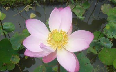 Lotus Flower at Karsa Spa, Ubud, Bali