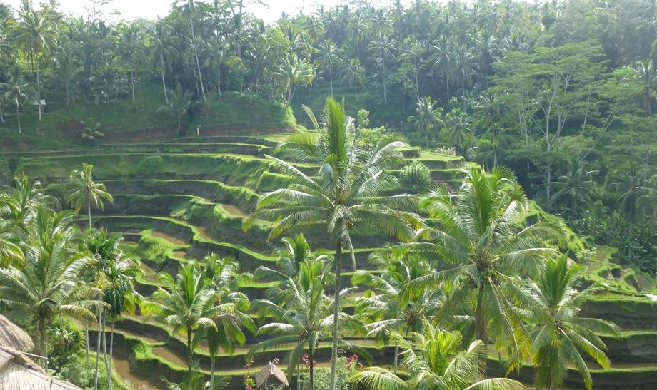 Terraced Rice Fields near Ubud, Bali