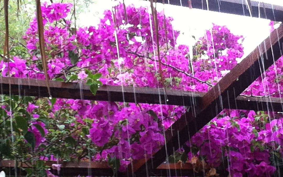 Bougainvillea in the Rain