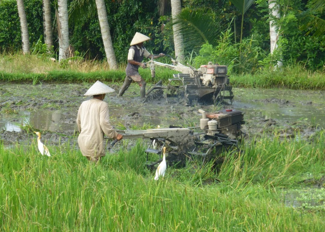 Tilling the rice fields in Ubud, Bali