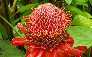 Torch Ginger, Island of Hawaii