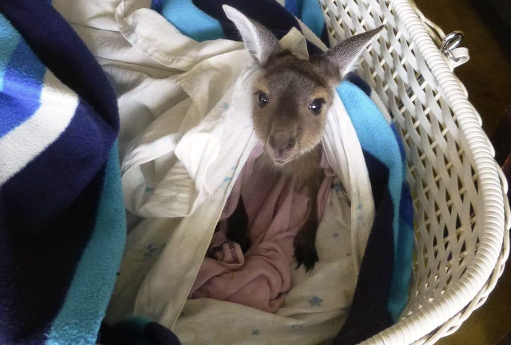 Baby Kangaroo in Crib