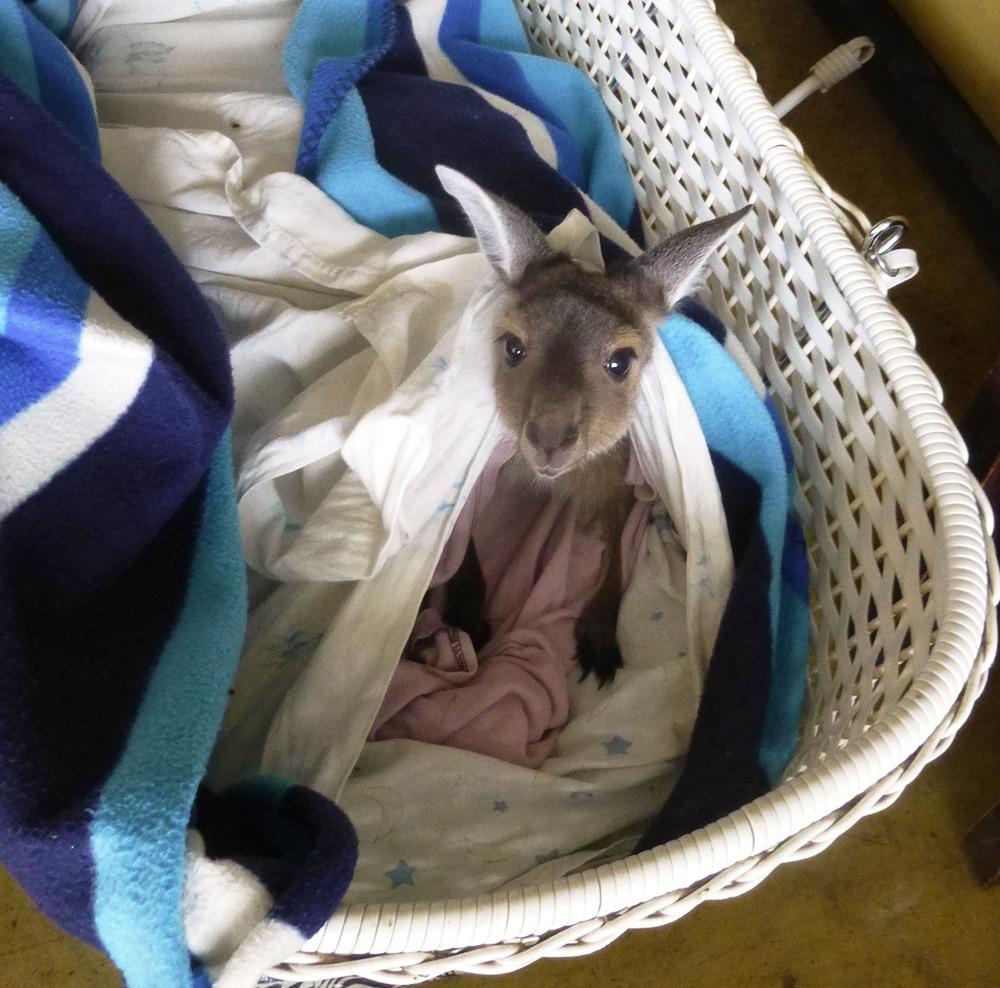 Baby Kangaroo in Crib, Uralla Wildlife Santuary