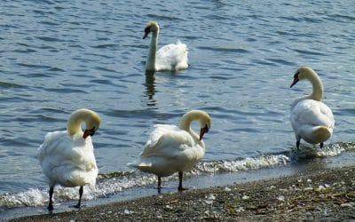 Lake Ontario Swans, Lake Ontario, Canada
