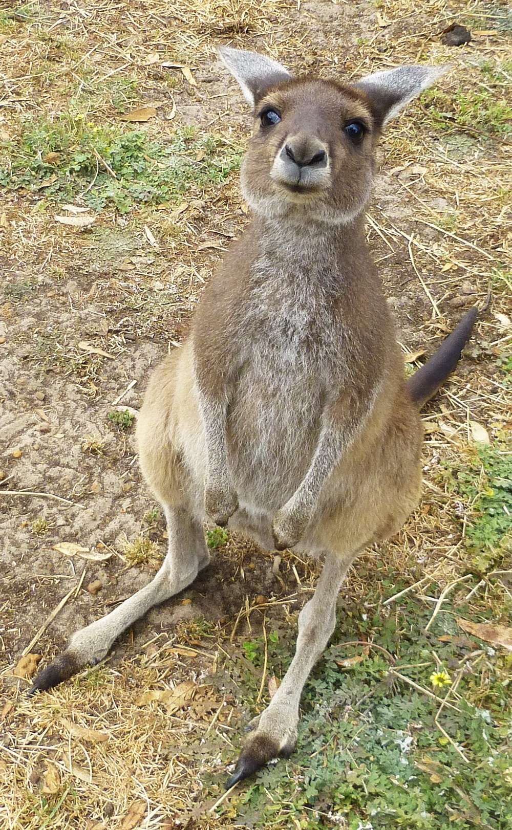 Adult Kangaroo at Uralla Wildlife Sanctuary