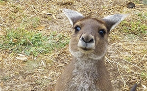 Friendly Kangaroo in Uralla Wildlife Sanctuary, Western Australia