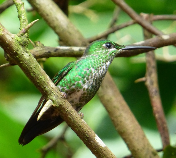 Green-breasted Mango Hummingbird, Costa Rica