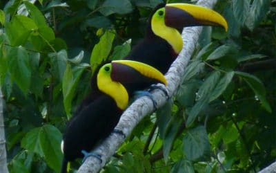 Chestnut Mandibled Toucan Pair, Ojochal, Costa Rica