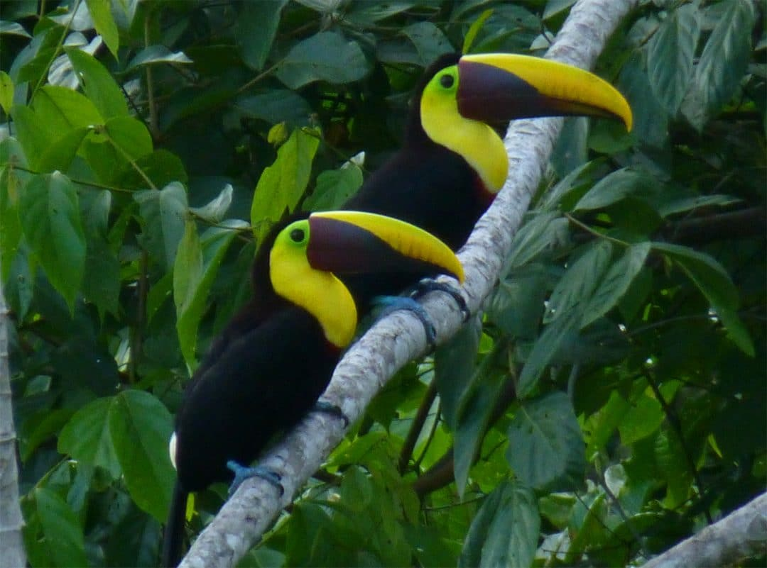 Pair of toucans, Costa Rica