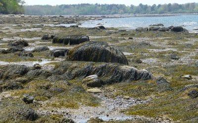 Seaweed Strewn Beach, Maine Coast