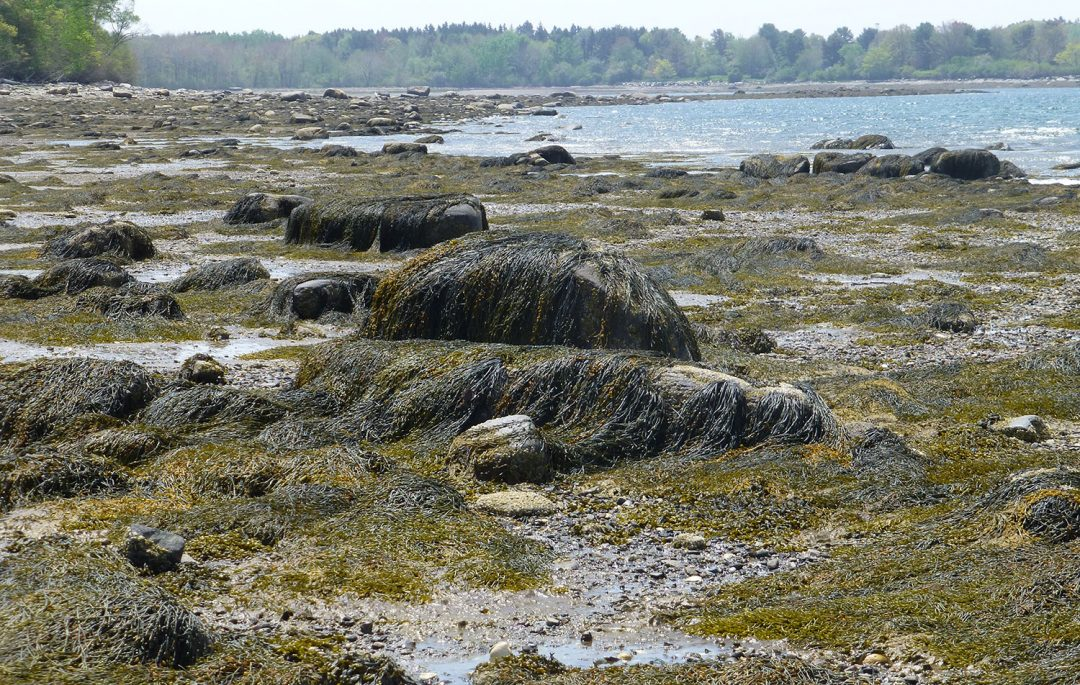 Seaweed on the Maine Coast