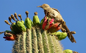 Curved-Bill Thrasher on Saguaro Cactus in Phoenix, AZ