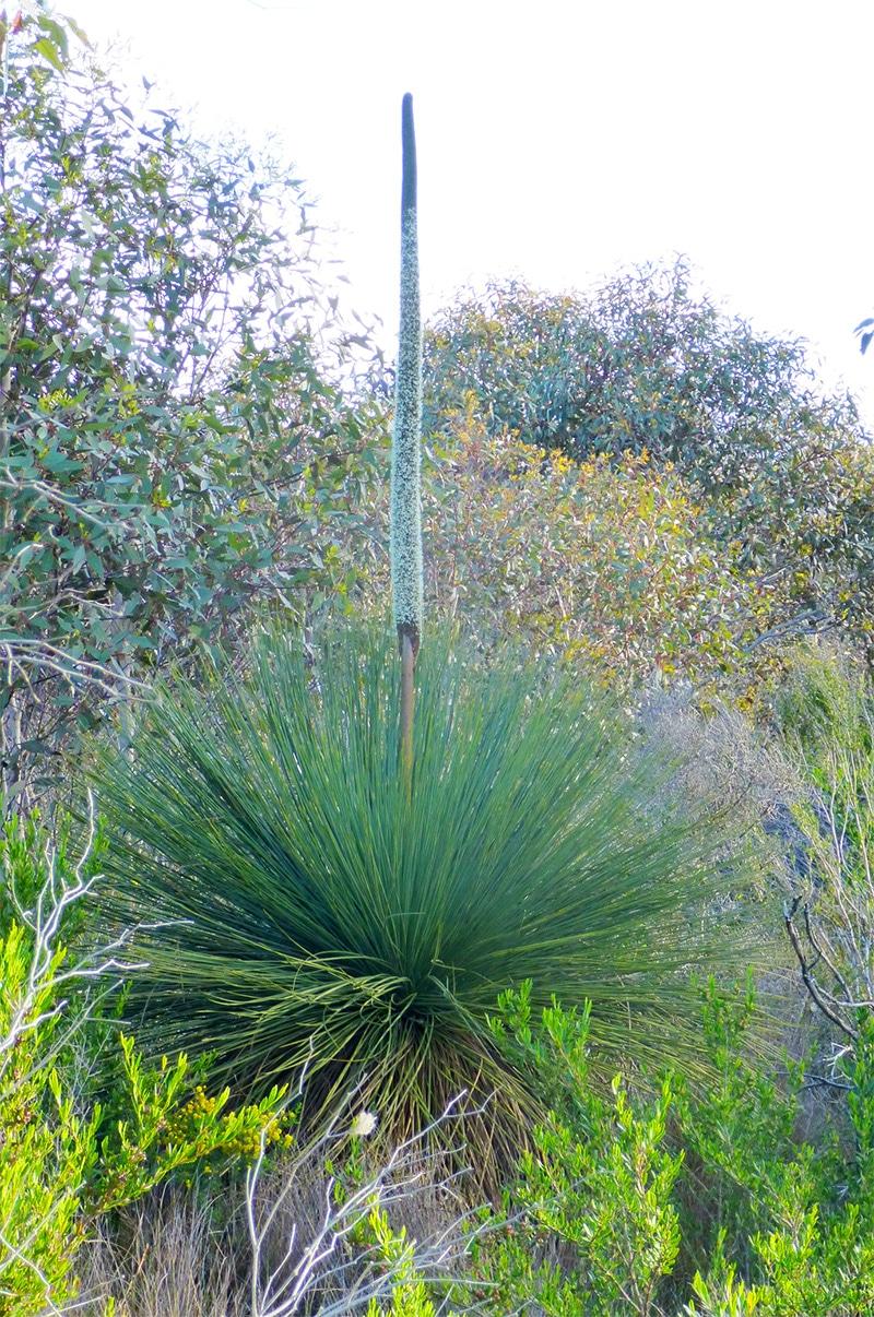 Australian Grasstree